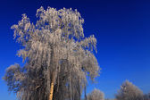 Birch tree covered with snow — Stock Photo