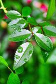 Droppe av dagg på ett grönt blad — Stockfoto