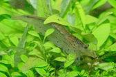 Freshwater shrimp — Stock Photo