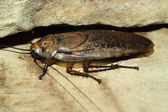 Big cockroach — Stock Photo