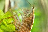 Cleaner shrimp — Stock Photo