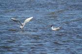 Pair of seagulls — Stock Photo