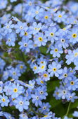 Delicate blue flowers forget-me-on — Stock Photo