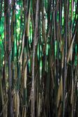 Bamboo trees — Stock Photo