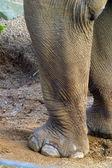 Elephant legs — Stock Photo