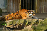 Relaxing tiger — Stock Photo