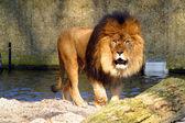 Beautiful lion — Стоковое фото