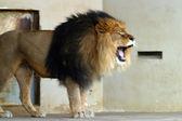 Beautiful lion — Stock Photo