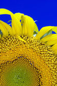 Sunflower plant — Stock Photo