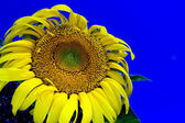 Sunflower plant — Stock Photo