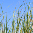 Tall grass — Stock Photo