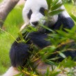 Panda resting and eating — Stock Photo #37392569