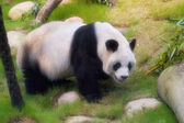 Panda  resting and eating — ストック写真
