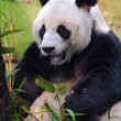 Young panda eating — Stock Photo