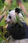 Young panda eating — Stockfoto