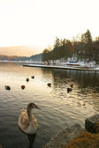 Swans in  Lake Bled — Stock Photo