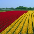 A colorful field of Tulips — Stock Photo