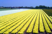 A colorful fields of Tulips — Stock Photo