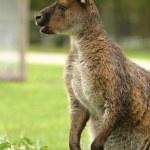 Kangaroos — Stock Photo #37624491