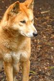 Dingo australiano — Foto Stock