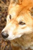 Australian dingo — Stock Photo