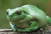 Forest Green Tree Frog — Stock Photo