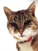 Tekir kedi — Stok fotoğraf