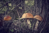 Forest Mushrooms — Stock Photo
