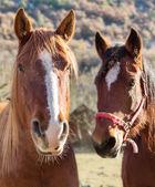Due cavalli — Foto Stock