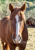 Close up farm horse — Stock Photo