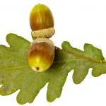 Two acorns — Stock Photo