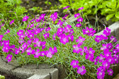 Pink (Dianthus deltoides) — Stock Photo