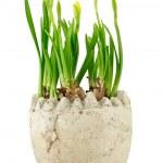 ������, ������: Daffodil Narcissus jonquilla Stock Image