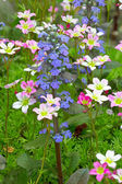 Saxifraga paniculata and bugle flowers — Stock Photo