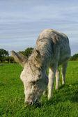 Solitary grazing donkey. — Foto Stock