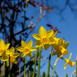 Spring daffodils — Stock Photo #42561833