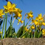 Spring daffodils — Stock Photo #42561923