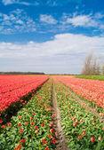 Die tulpenfelder an einem schönen sonnigen tag. — Stockfoto