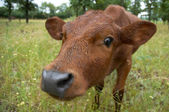 Calf — Stock Photo