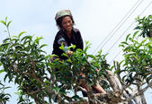 Tea pickers — Stock Photo