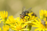Sarcophaga Fly amongst Ragwort Flowers — Stock Photo
