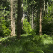 Pine Tree Forest — Stock Photo #38601061