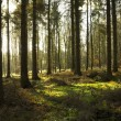 Pine Trees and Light — Stock Photo #38601087