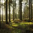 Stock Photo: Pine Trees and Light