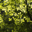 Sunlight and Hornbeam Leaves — Stock Photo #38601257