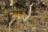 Cheeky Red Deer Fawn — Foto de Stock