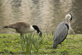 Blue Heron and Goose — Stock Photo