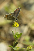 Delicate Brown Argus Butterfly — Stock Photo