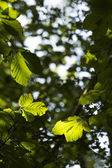 Hornbeam Tree Leaves — Stock Photo