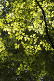 Sunlight and Hornbeam Leaves — Stock Photo